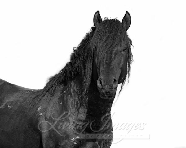 Black Curly Stallion Art | Living Images by Carol Walker, LLC