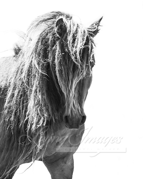 Sable Island Stallion Head On In Black And White Art   Living Images by Carol Walker, LLC