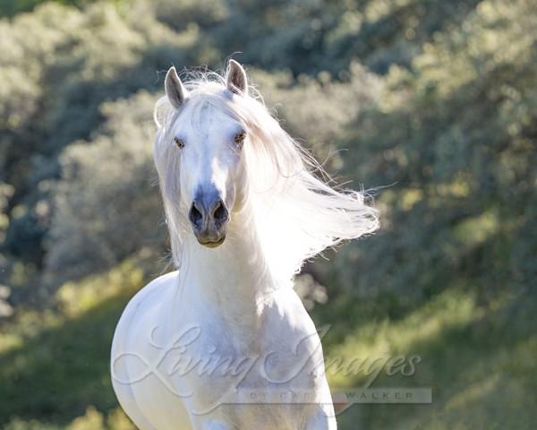 White Stallion Runs In The Light Art | Living Images by Carol Walker, LLC