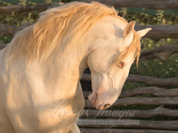 Cremello Stallion Runs At Dawn Art | Living Images by Carol Walker, LLC