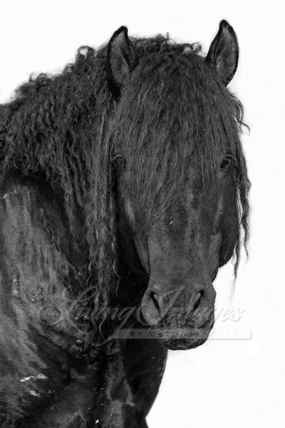 Portrait Of A Wild Curly Stallion Art | Living Images by Carol Walker, LLC