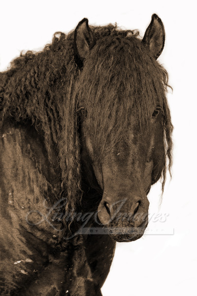 Portrait Of A Wild Curly Stallion In Sepia Art | Living Images by Carol Walker, LLC