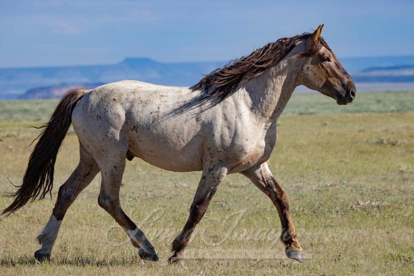 Red Roan Stallion On A Mission Art   Living Images by Carol Walker, LLC