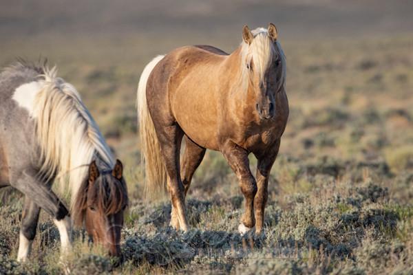 Wild Stallion Watches Art   Living Images by Carol Walker, LLC