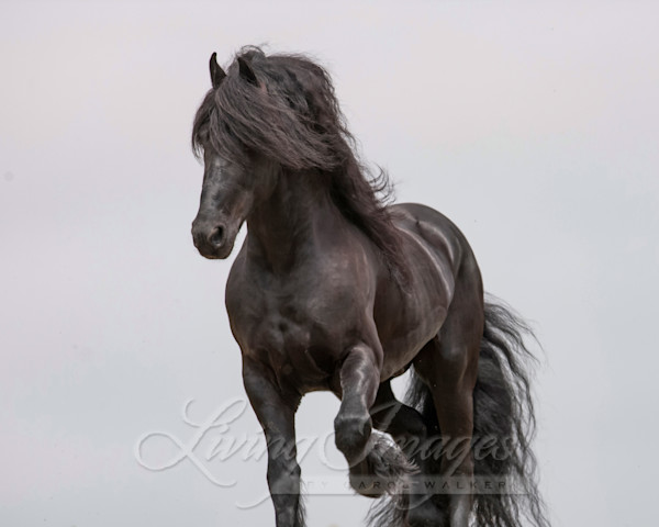 Friesian On The Move Art | Living Images by Carol Walker, LLC