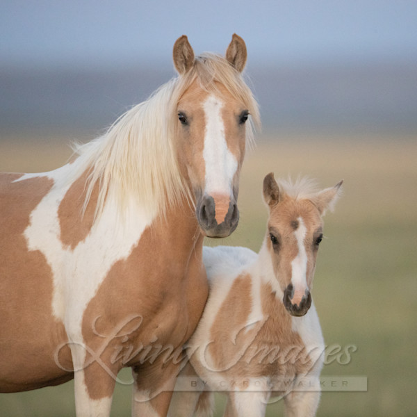 Wild Pinto Mare And Foal Together Art   Living Images by Carol Walker, LLC
