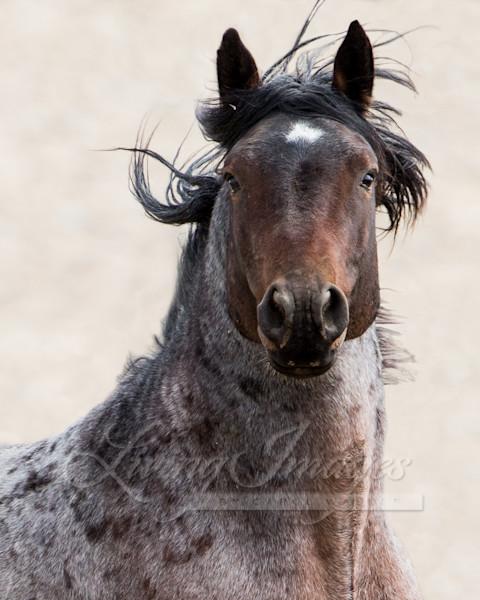 Wild Bay Roan Stallion Art   Living Images by Carol Walker, LLC