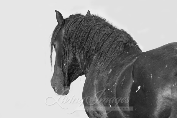 The Wild Curly Stallion's Strength Art | Living Images by Carol Walker, LLC