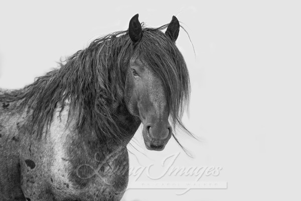 Blue Zeus Looks In Black And White Art | Living Images by Carol Walker, LLC
