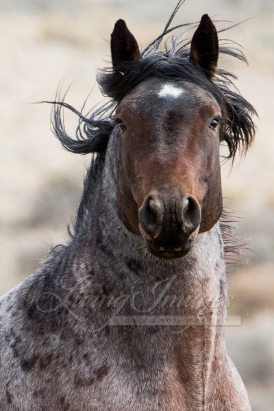 Wild Bay Roan Stallion Runs Up Art | Living Images by Carol Walker, LLC
