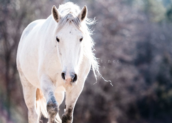 Shawnee Creek Wild Grey Horse Fine Art Print Equestrian Decor