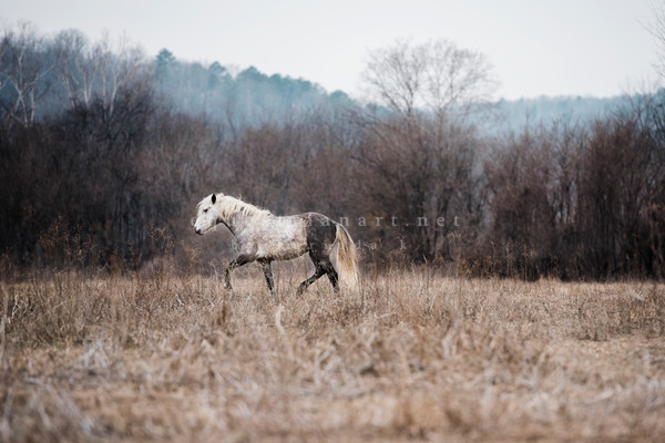 Wall Art Print of a Wild Dapple Grey Stallion Dancing in the Ozark Mountains
