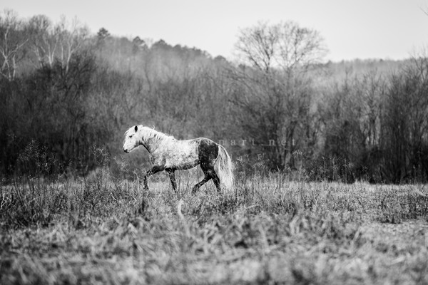 A Stallion's Winter Dance B&W  Photography Art | Equestrian Art