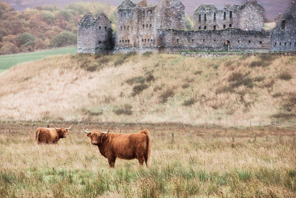 Art piece featuring the Scottish Highland Cattle in front of Castle Ruins in the Countryside of Scotland.