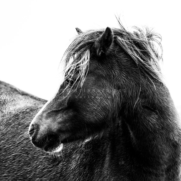 Wherever You Are B&W Photography Art | Equestrian Art