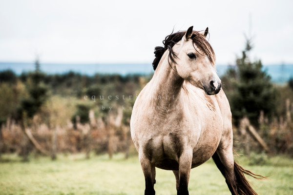 Welsh Ponies from Wales Fine Art Prints for Horse Lovers