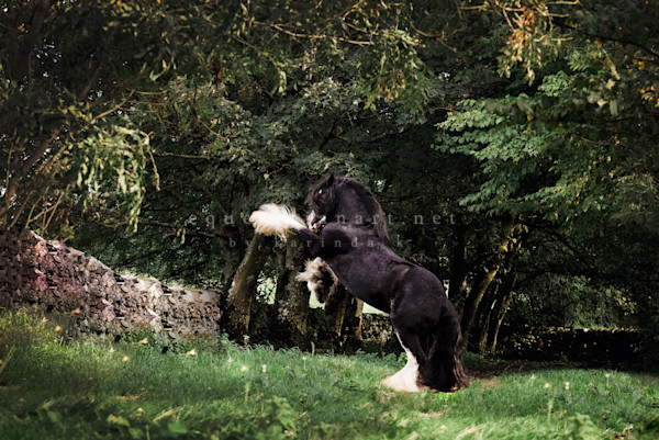 A Black and White Majestic Gypsy Cob in the United Kingdom Rearing.