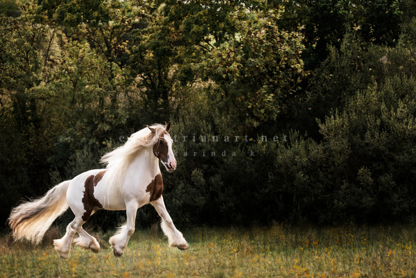 Golden Dances Photography Art | Equestrian Art