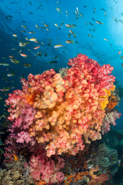 Damsels and Anthias schooling above vividly colored Soft Corals   Shot in  Indonesia