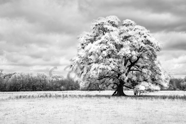 """Oaks Of Righteousness"" by Harold Vincent 