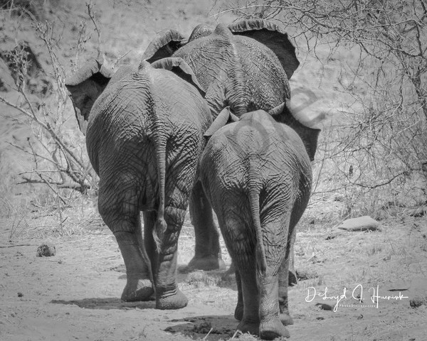 3 elephants walking away, leaving