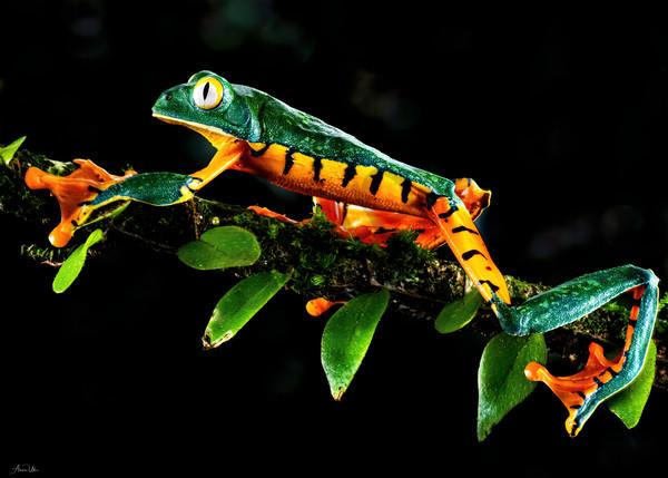 Splendid Tree Frog Photography Art   Feather Flare Photography