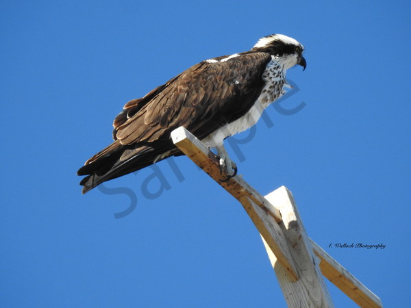 Osprey Lookout