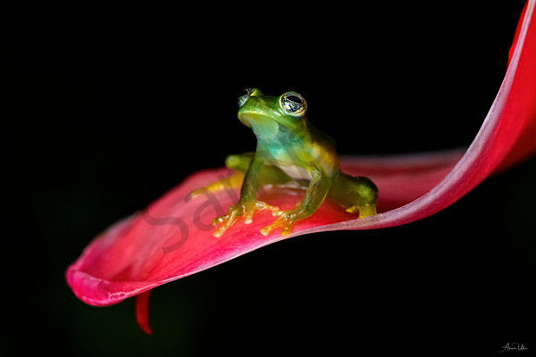 Glossy Glass Frog Photography Art | Feather Flare Photography