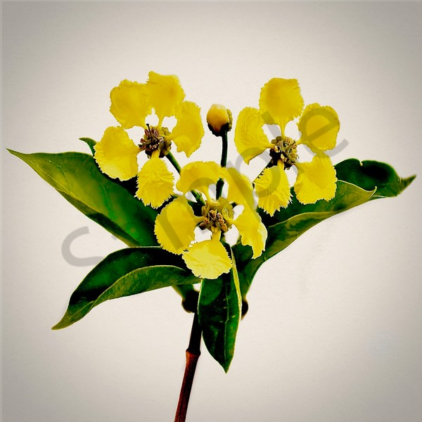 Golden Orchid Vine Art | VGDart&photography