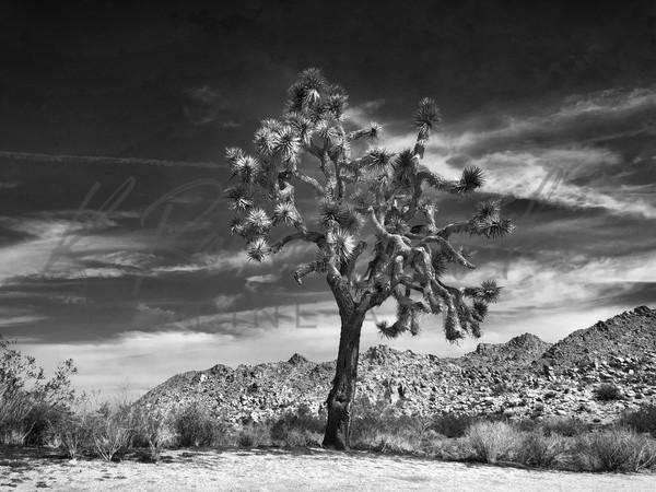 Joshua Tree  Art | K. Randall Wilcox Fine Art