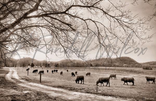 Tennessee Livestock Art | K. Randall Wilcox Fine Art