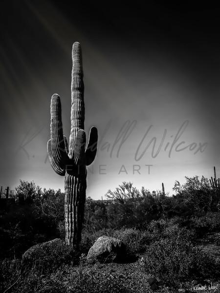 Lone Saguaro Art | K. Randall Wilcox Fine Art