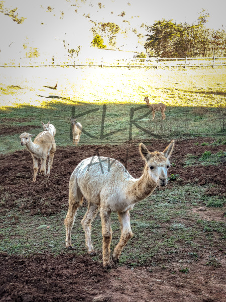 Gaf Animals 02 Alpacas Wet Morning Art | KLR ART