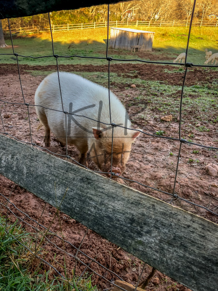 Gaf Animals 05 Pig Wet Morning Art | KLR ART