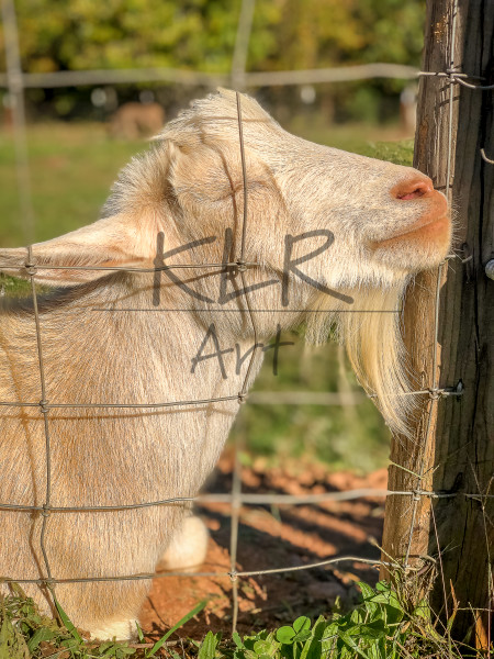 Gaf Animals 19 Little John The Goat Art | KLR ART