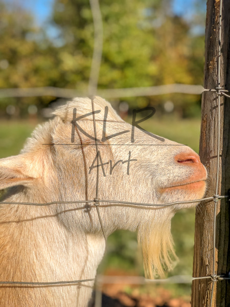 Gaf Animals 20 Little John The Goat Art | KLR ART
