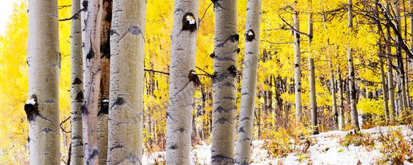Aspen trees fall Kebler Pass Aspen-Colorado art photography