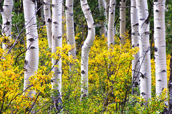 Mountain Light Images, Aspen Trunks Fall Marble Colorado scenic photography trees yellow trunks