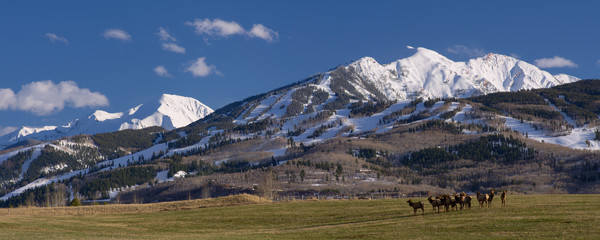 Mountain Light Images, Elk graze in front of HIghlands and Butermilk ski areas. Spring winter snow blue sky