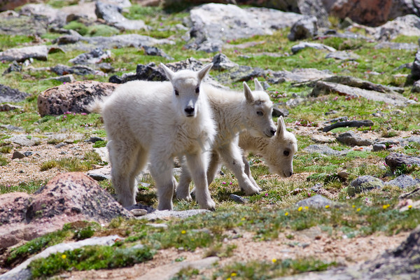 mountain light images three mountain goat kids on mt evans in colorado late spring green grasses wildlife babies