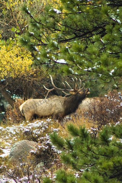mountain light images elk bugling fall in rocky mountain national park. Bull elk snow wildlife colorado