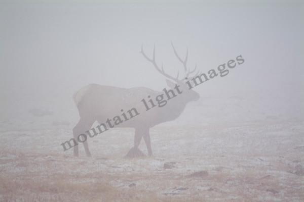 mountain light images, wildlife, bull elk, fog, snow, fall