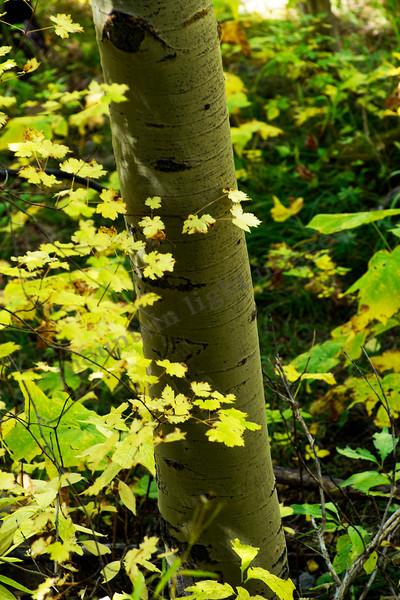 mountain light images, aspen tree, trunk, undergrowth, yellow, warm, fall