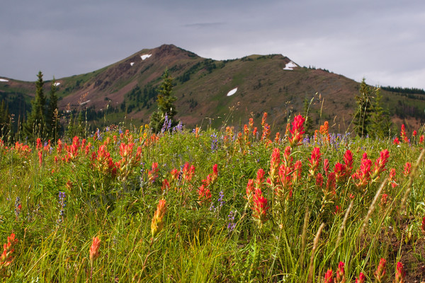 mountain light images, wildflowers, indian paintbrush gore range wilderness summit county colorado