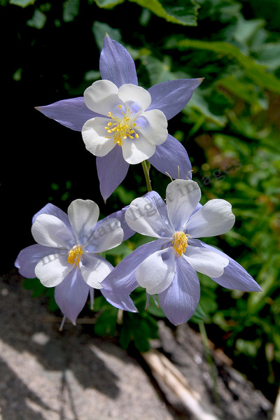 mountain light images the columbine shown here were about as perfect a threesome as I have ever seen. Found them up in the Zirkel Wilderness north and east of Steamboat Springs, an empty wildnerness filled with flowers and no people.
