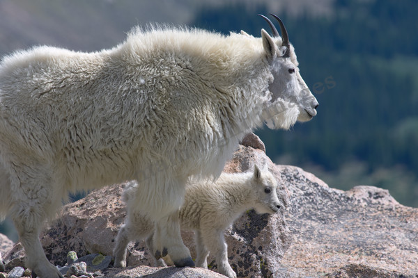 mountain light images mountain goat ewe with lamb on mt evans near denver. baby milky white and looking curious