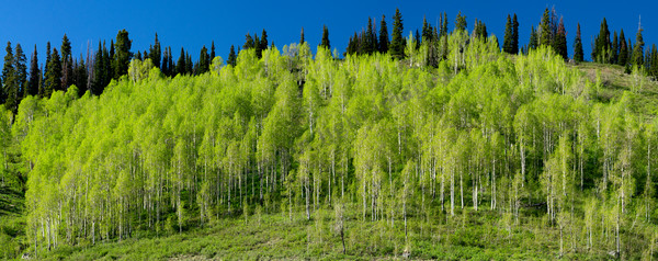mountain light images spring green aspen trees late afternoon on kebler pass. The young green leaves translucence in the sunlight gives them a vivid lime green.