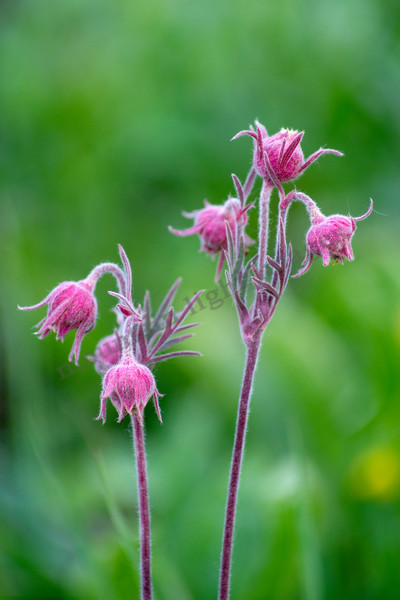 mountain light images, wildflowers like Prairie Smoke come early as spring fades into summer up high. Colorado has a huge variety of colorful blooms, pink and the greenery here are a good start.