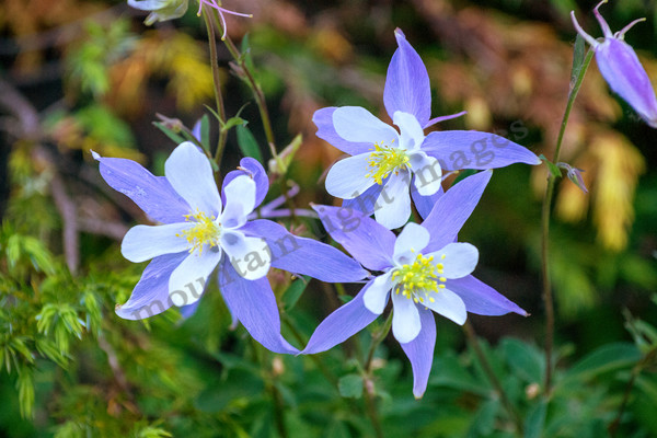mountain light images the purple columbine is colorados state flower. It blooms all over the high country from early summer to almost fall