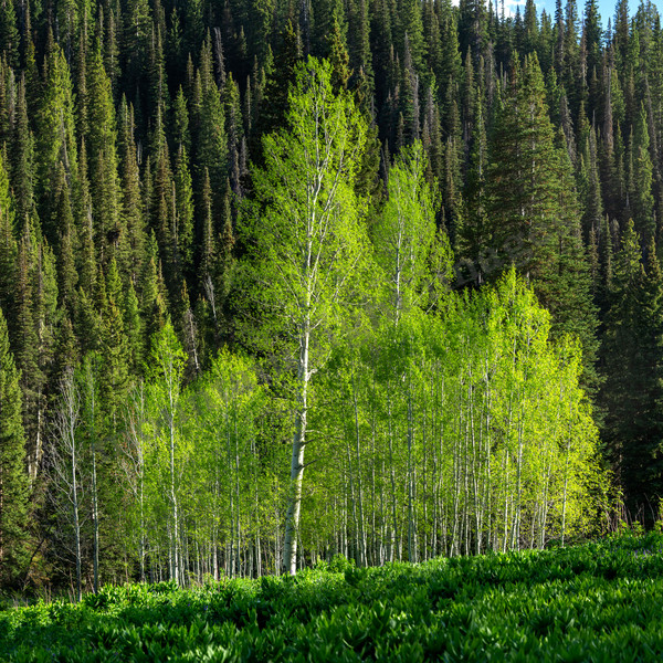 mountain light images fresh young aspen trees are translucent green. Here a grove on Kebler Pass near Crested Butte Colorado shows off the newness of spring.
